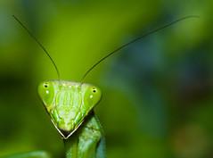 [フリー画像] [節足動物] [昆虫] [カマキリ] [緑色/グリーン]       [フリー素材]