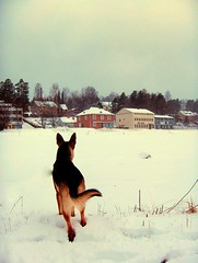 whos watching our town? (FriaLOve) Tags: trees houses winter orange dog white house snow black tree cute beautiful forest finland town village watching adorable ruovesi goldstaraward friia frialove
