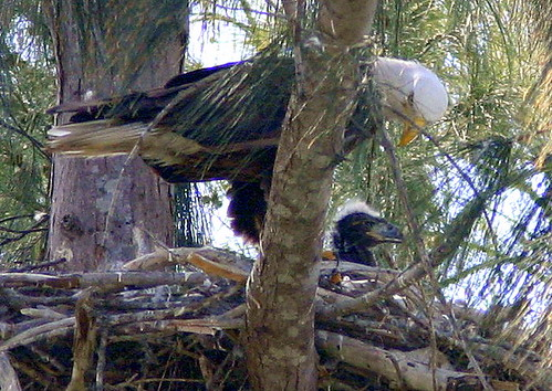 Eagle With Chick 20090219