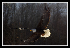Photo Fly By (JSB_Photography) Tags: trees bird alaska d50 wings nikon eagle baldeagle beak feathers bald sigma raptor eagleriver birdofprey talons 70210mm goldstaraward jsbphotography