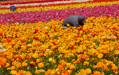 Working the Fields (Bill Gracey) Tags: flores flower workers fields southerncalifornia carlsbad