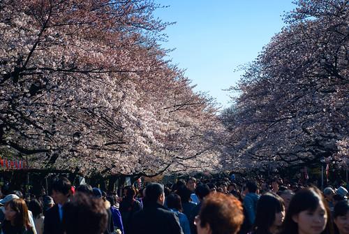 El pasillo de cerezos de Ueno. Sakura (2)