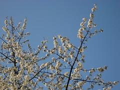cvetoča češnja