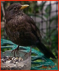 Had a friend sitting at my table today. (min51) Tags: food black bird garden table feathers seed blackbird yellowbeak theperfectphotographer