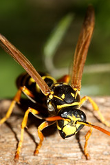 Yellowjacket Summer (curious_spider) Tags: macro insect wings wasp stinger yellowjacket upcloseandpersonal canon100mm