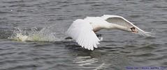 Meep, Meep........ (law_keven) Tags: england water birds swan pond feathers dovercourt avian harwich muteswan feathery blueribbonwinner featheryfriday explore500 goldstaraward eessx cygnusoldor