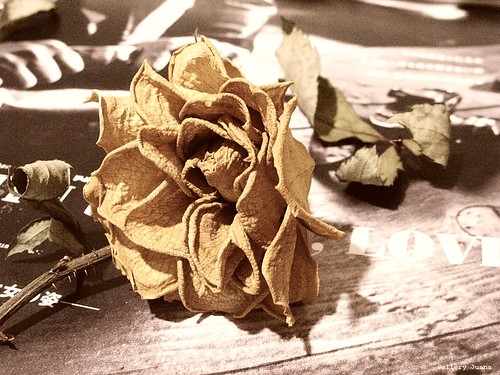 rose and love  sepia