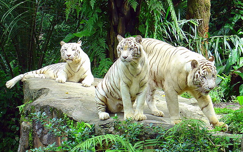 White Tigers, Singapore Zoo by Eustaquio Santimano.