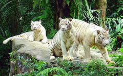White Tigers, Singapore Zoo {Explore} (Eustaquio Santimano) Tags: world india white zoo singapore asia power destruction wildlife south tourist tigers strength visitors popular habitat majestic bengal extinct reserves fund deforestation singaporezoo mandai albinos openzoo mandaizoo topshots