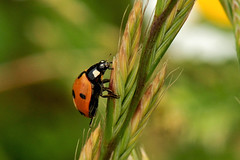 ladybeetle !! (domenicosavi photographer) Tags: new city newyorkcity trip travel family flowers friends party summer vacation portrait england italy music food newyork man rome flower roma macro art fall film sports nature water fashion sport festival night nikon women friend europe italia foto photographer florida portait sportsillustrated ladybeetle lazio coccinella savi rieti 105vr macrolife domenicosavi