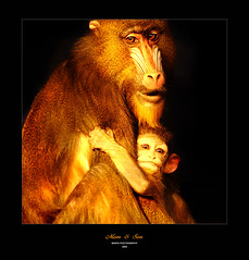 :: Togetherness (Imapix) Tags: family nature animal female mom monkey togetherness photo kid eyes photographie young mother son maman grip primate bb mandrill singe holdon grasp holdingon granbyzoo gaetanbourque africanmonkey vosplusbellesphotos imapixphotography gatanbourquephotography