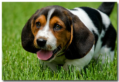 Say Hello to My Little Friend... (PGornell) Tags: puppy bassethound eightweeksold youvsthebest thepinnaclehof