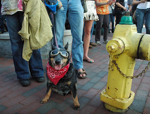 On the streets of Ashvegas: Protest dog