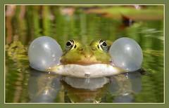 Practising for the next concert (Loe Giesen) Tags: frog frosch kikker specanimal specanimalphotooftheday nikoncoolpixp80 kikkerlandje exploremay2010 loegiesen