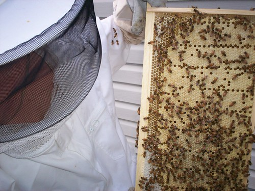 capped brood and a little capped honey in the bottom left of the frame
