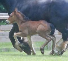 (The Pelton Vanners Gypsy Vanner Horses) Tags: horse ardennes gypsy vanner gypsyhorse ardennshorse