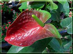 Dark-red Anthurium spp. with a green spadix, from China, at a garden nursery in KL