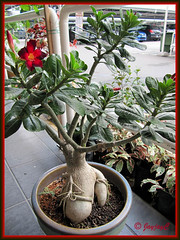 Adenium obesum (Desert Rose) with deep red flowers and a beautifully formed caudex