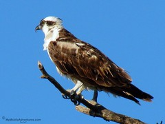 IMG_3854-Sanibel-Lighthouse-Beach-Osprey