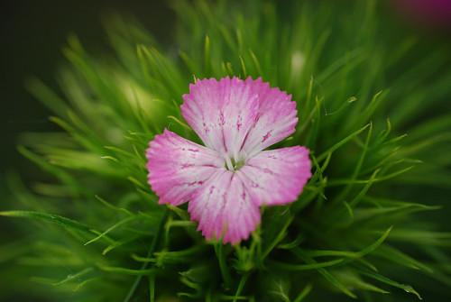 flower sweet william virág dcr250 raynox törökszegfű