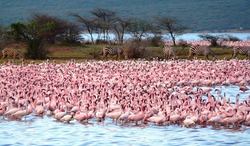 Lake Bogoria Flamingo and zebras, Kenya © IUCN Geoffroy Mauvais