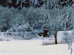 Frostig (mikiitaly) Tags: schnee winter snow ice frost neve inverno baum ghiaccio kälte
