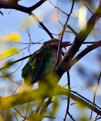 Asian Barbet Viewed Through Branches (aeschylus18917) Tags: india bird nature birds animal nikon wildlife feathers d200 rajasthan bharatpur  80400mm barbet 80400mmf4556dvr brownheadedbarbet megalaimazeylanica 80400mmf4556vr largegreenbarbet  megalaimidae keoladeosanctuary danielruyle asianbarbet aeschylus18917 danruyle druyle