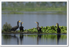 Great Cormorant (Phalacrocorax carbo) (Z.Faisal) Tags: bird nature nikon great beak feathers aves cormorant nikkor shag bangladesh avian bipedal bangla faisal feni boro desh d300 zamir goyal greatcormorant phalacrocoraxcarbo carbo phalacrocorax pakhi blackshag endothermic blackcormorant nikkor300mmf4 muhuri greatblackcormorant largecormorant zamiruddin zamiruddinfaisal pankouri zfaisal muhuriproject muhuridam boropankouri