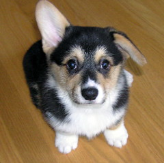 riley-ears (etgeek (Eric)) Tags: dog woof puppy pembroke riley corgi ears bark aww cattledog welshcorgi k9 akc herding caamoraorileywildwind damcaamorakittyhawk sireanwylwindsochangech 9682742