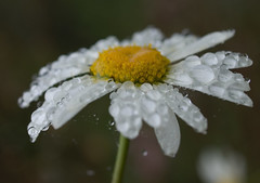 Marguerite (Leucanthemum vulgare) (Sinkha63) Tags: white france flower macro nature fleur whiteflower drop daisy droplet marguerite blanche wildflower asteraceae corrze pictureperfect flore limousin beynat oxeyedaisy leucanthemumvulgare flickraward astraces platinumheartaward composes goldstaraward excellentsflowers wonderfulworldofflowers mimamorflowers waterdropsmacros awesomeblossoms vanagram grandemarguerite flickrflorescloseupmacros leucanthmevulgaire herbedesaintjean thebestofmimamorsgroups