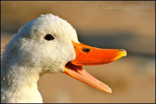 pet causes goose