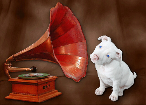 Kahuna Luna as New RCA White Puppy Dog, Ear Cocked Listening...