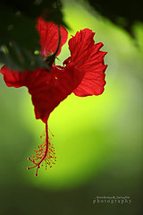Red (anthonyserafin) Tags: red flower canon dof petal hibiscus hanging 70200 davao anuniverseofflowers anthonyserafin