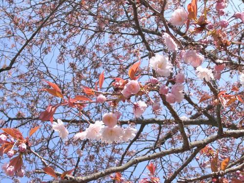 09-04-05【桜】@奈良公園-07