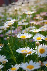 Jardn (chblet) Tags: flores mxico bokeh margarita quertaro bellisperennis 100 chiribita pascueta vellorita chablet simplythebest~flowers