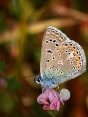Polyommatus ( Polyommatus )  Icarus (diegocon1964) Tags: lepidoptera lycaenidae polyommatus papilionoidea lycaeninae polyommatini polyommatuspolyommatusicarus