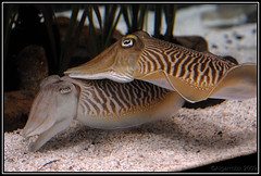 Spies (j.borras) Tags: barcelona animals sepia 50mm aquarium nikon bcn cuttlefish 50 d300 officinalis af5018d spia nikkorafd50mm18 algarrobix fishcommon