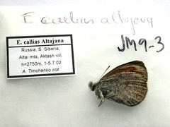 Erebia callias