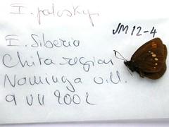 Erebia pawloskii