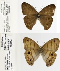 Euptychia n.sp.6