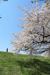 Sakura (larique) Tags: pink sky green canon spring  sakura hanami