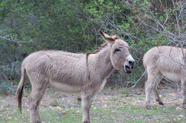 Donkey Braying