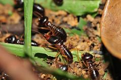KEN_8434 (gingerbreadtot) Tags: macro insect nikon 75300 termite 6t blattodea alexanderbutterflytrail