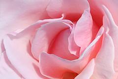 Rose Macro / Close up - IMG_7200 (Bahman Farzad) Tags: macro up rose closeup close upclose rosemacro macrorose closeuprose rosecloseup