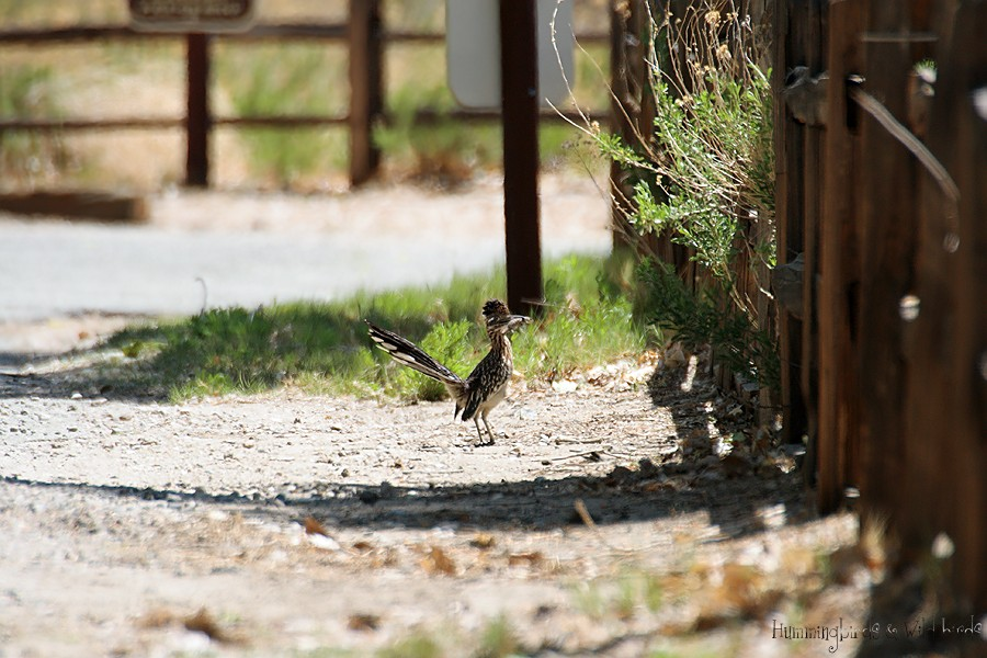 Greater Roadrunner 040910-5