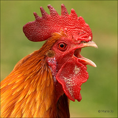 Little Red Rooster (okkibox) Tags: friends birds animals gallo rooster archeon 2009 haan coq hahn hane tupp ineffable alphenadrijn pentaxk10d platinumphoto colorphotoaward theunforgettablepictures 100commentgroup vosplusbellesphotos okkibox travelsofhomerodyssey boxofhappymemories newgoldenseal