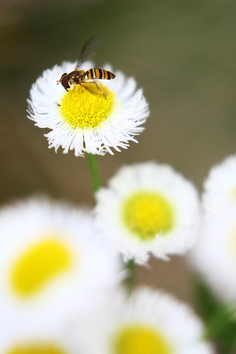 philadelphia daisy