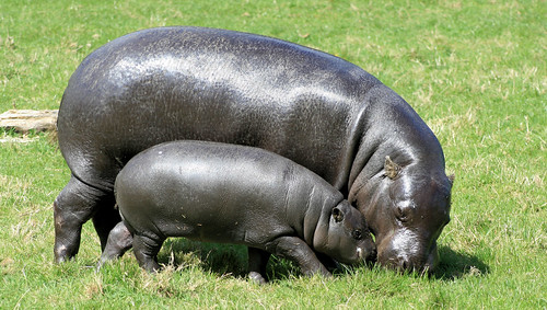 Pygmy Hippopotamus 6