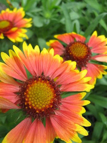 Gaillardia Arizona Sun by poppy2323