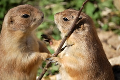 Papagena & Papageno (cape) Tags: nature animal zoo nikon bokeh handheld cape prairiedog nikkor d40 cynomys prriehunde nikond40 nikonafsdxvr55200mm cape afsvr55200